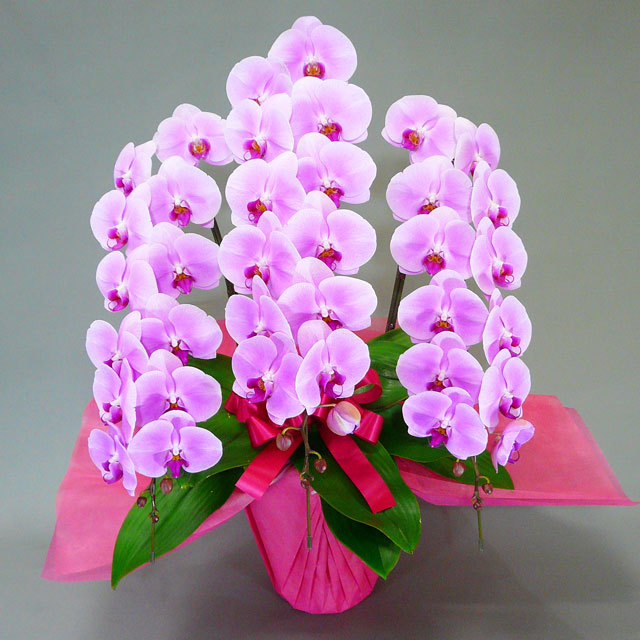 チャーター便 胡蝶蘭 3本立ち ピンク