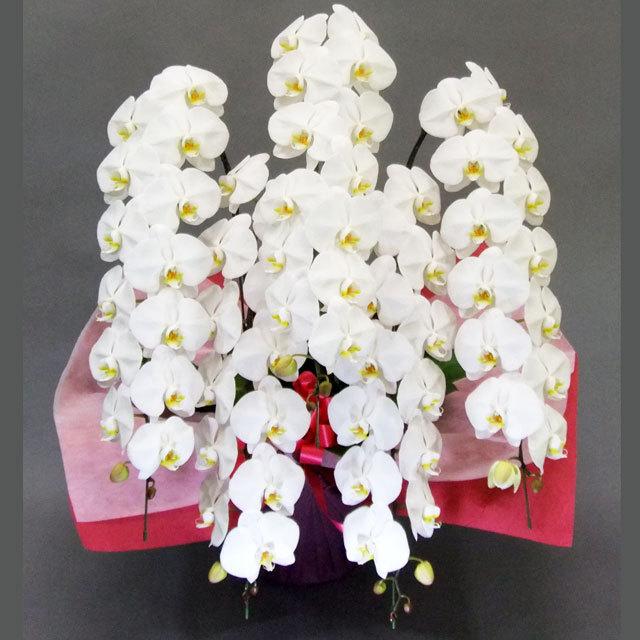 チャーター便 胡蝶蘭 5本立ち 白