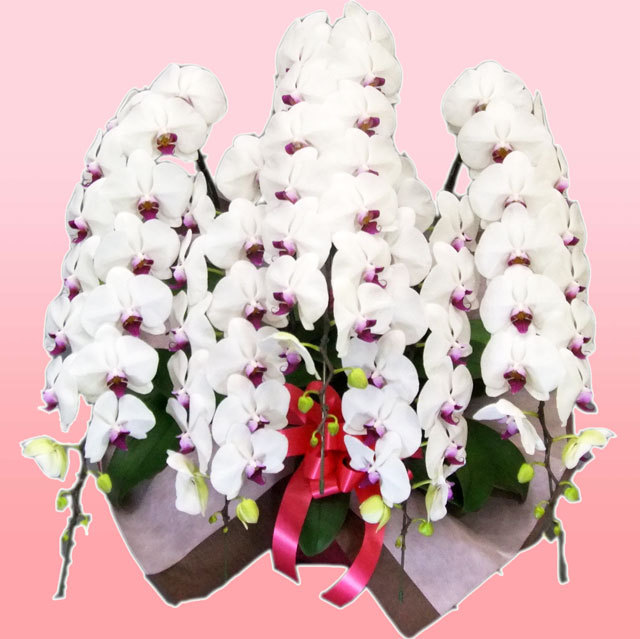チャーター便 胡蝶蘭 5本立ち 赤リップ