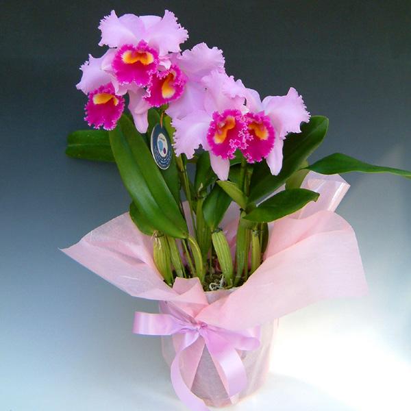 お祝い,御祝い,カトレア,カトレヤ,プレゼント,ギフト,贈り物,還暦,古希,開店,オープン,移転,楽屋見舞い,即日発送,送料無料,花,フラワー