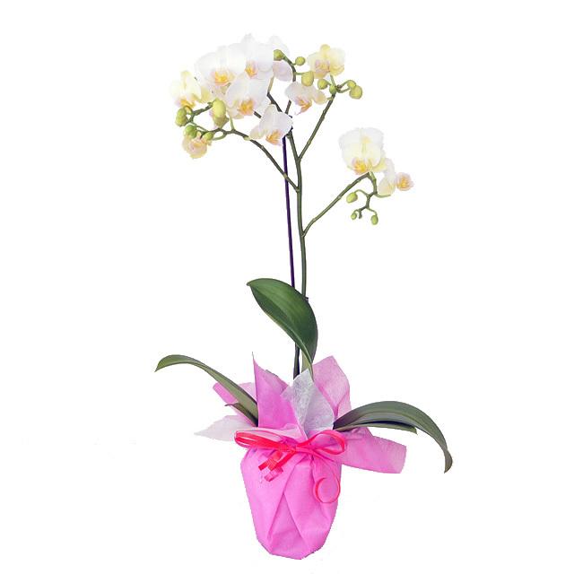 胡蝶蘭 ピンク 誕生日 お祝い 開店祝い