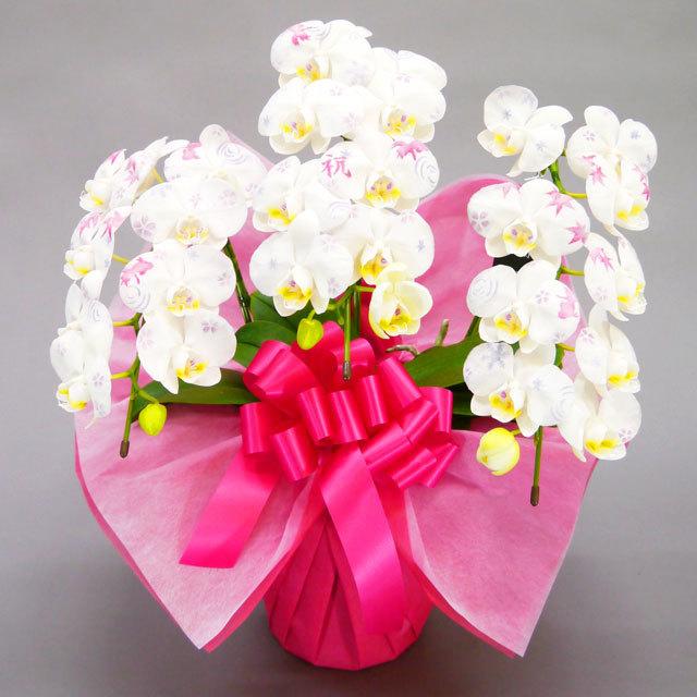 化粧蘭 ミディ胡蝶蘭 3本立ち 白