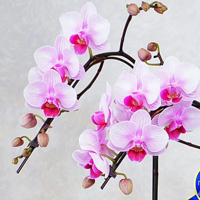 胡蝶蘭 お線香 お供え