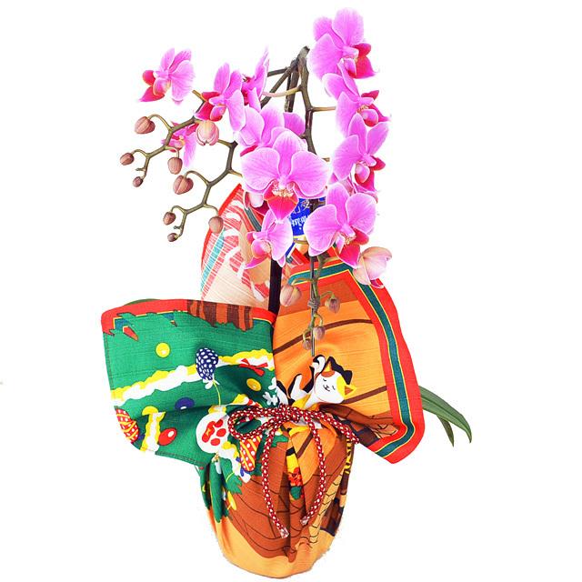【限定品】特選ミディ胡蝶蘭 1本立ち ピンク系 4号鉢 風呂敷ラッピング 三毛猫みけの夢日記 綿小風呂敷 約50cm みけのクリスマス 12月