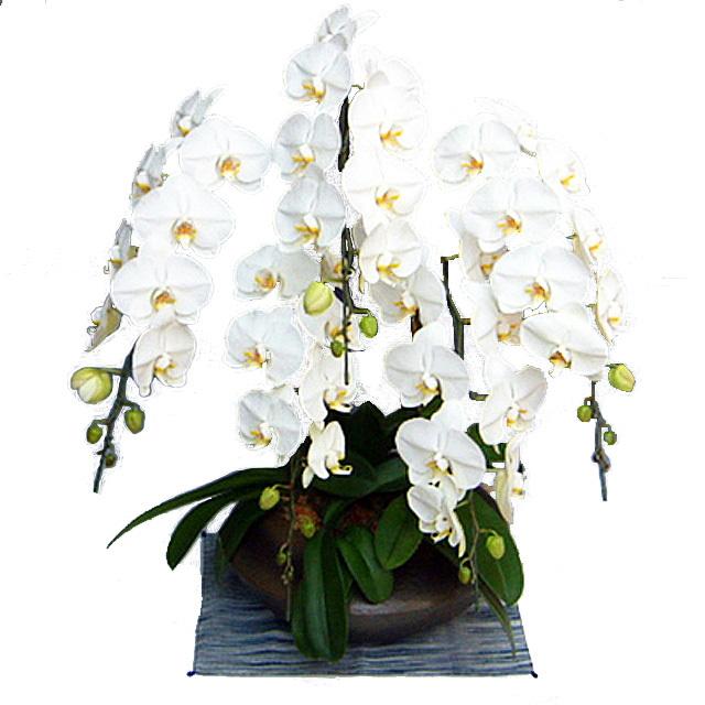 胡蝶蘭 和鉢まどか 5本立ち 大輪系 白色