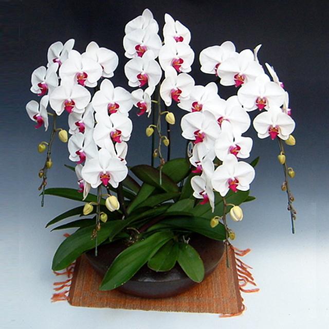 胡蝶蘭 和鉢まどか 5本立ち 大輪系 赤リップ色