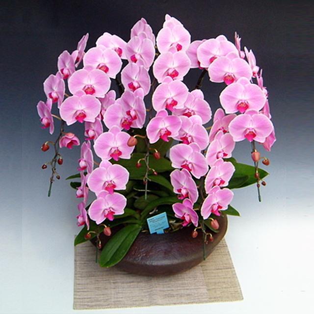 胡蝶蘭 和鉢まどか 5本立ち 大輪系 ピンク色