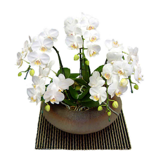 ミディ胡蝶蘭 小和鉢まどか 5本立ち アマビリス 白色