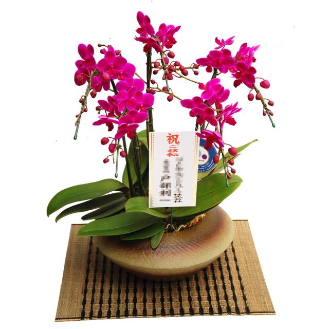 ミディ胡蝶蘭 小和鉢 まどか 5本立ち 満天紅 濃いピンク色