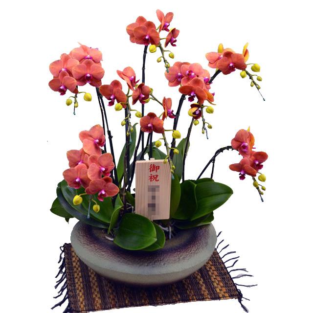 ミディ胡蝶蘭 小和鉢まどか 5本立ち サーフソング 珍しいオレンジ色