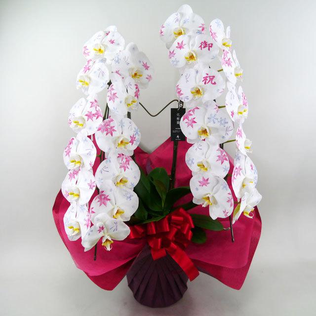 化粧蘭 大輪系胡蝶蘭 2本立ち 白
