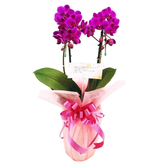 ミディ胡蝶蘭 お祝い 満天紅 2本立ち 濃いピンク色