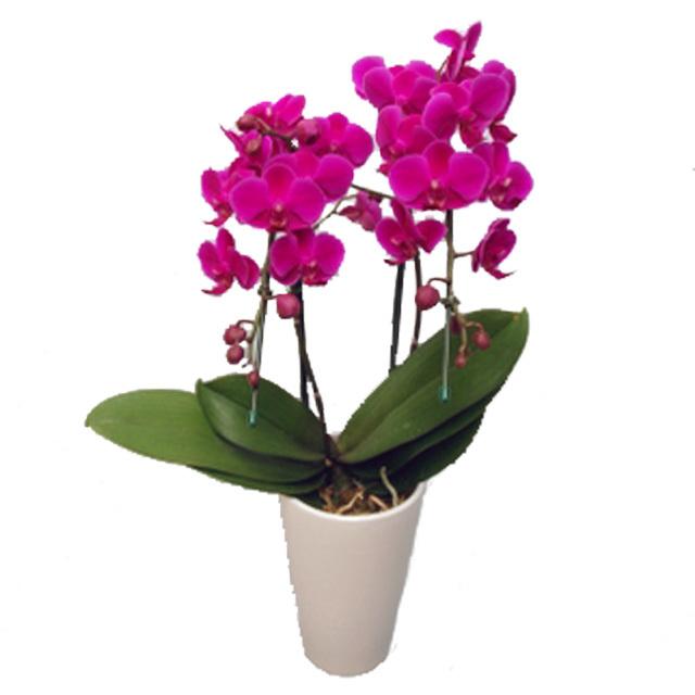 ミディ胡蝶蘭 サンクスポット 満天紅 2本立ち Thanks Pot 濃いピンク色
