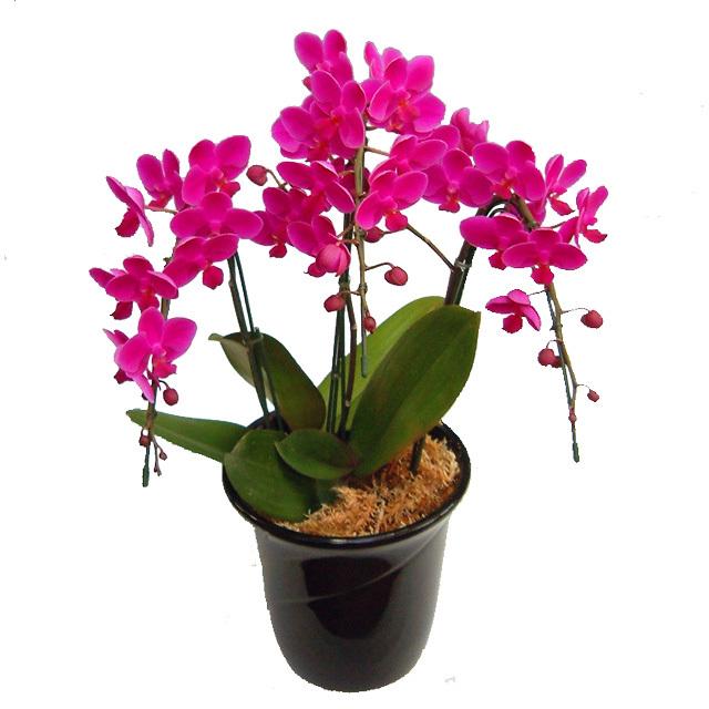 ミディ胡蝶蘭 お祝い 満天紅 3本立ち 濃いピンク色