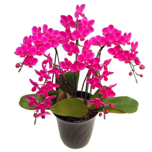 ミディ胡蝶蘭 お祝い 満天紅 5本立ち 濃いピンク色