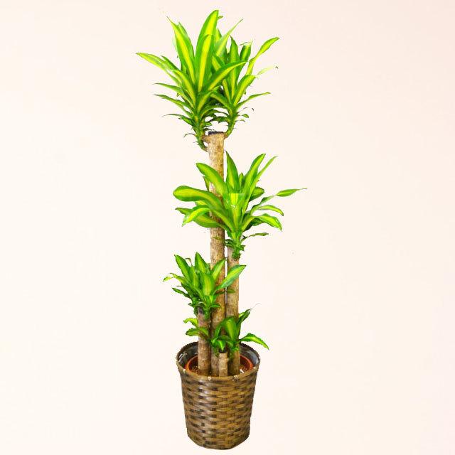 観葉植物 幸福の木 マッサン 10号鉢 バスケット付 送料無料
