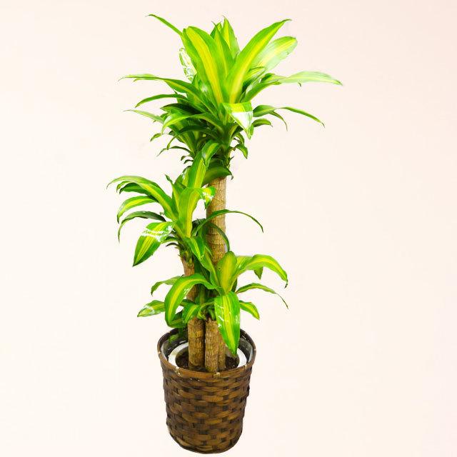 観葉植物 幸福の木 マッサン 8号鉢 バスケット付 送料無料