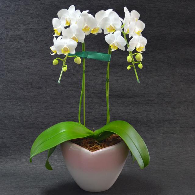 ミディ胡蝶蘭 2本立ち 白色 ハート鉢