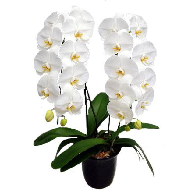 胡蝶蘭 2本立ち 白色 22輪前後 大輪