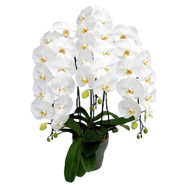胡蝶蘭 7本立ち 白色 豪華ラッピング
