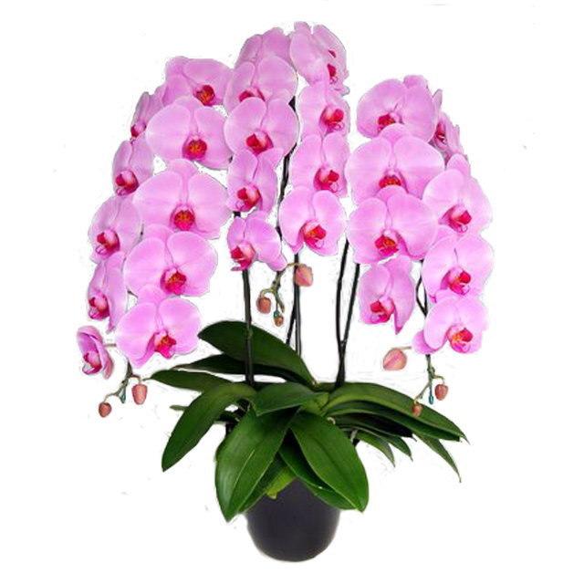 胡蝶蘭 3本立ち ピンク色 30輪前後 大輪
