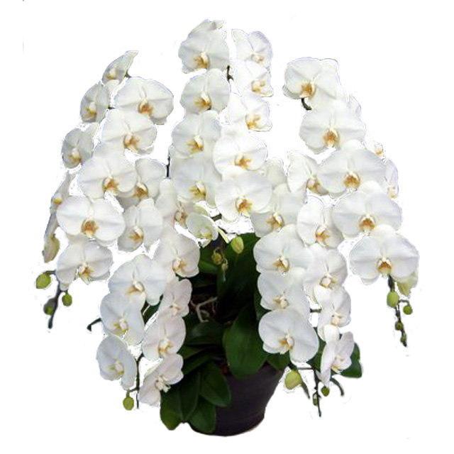 胡蝶蘭 5本立ち 白色 60輪前後 大輪