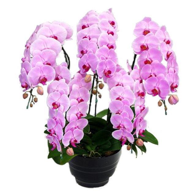 胡蝶蘭 5本立ち ピンク色 50輪前後 大輪