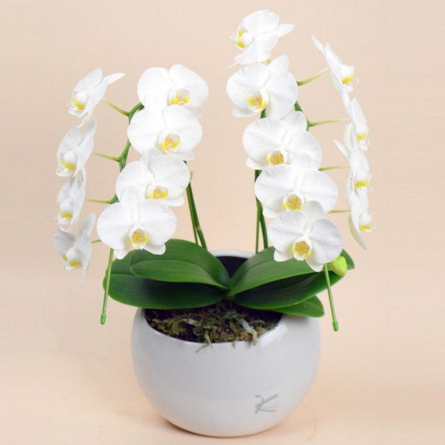 ミディ胡蝶蘭 2本立ち 白 丸鉢 ムーン