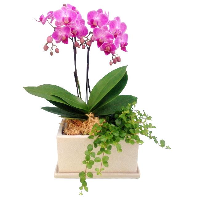 胡蝶蘭 2本立ち 濃い ピンク色 パルテノ鉢 5.5号 観葉寄せ ミディ