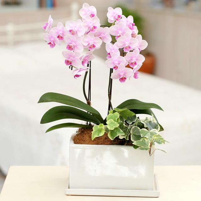 胡蝶蘭 2本立ち 淡い ピンク色 パルテノ鉢 5.5号 観葉寄せ ミディ