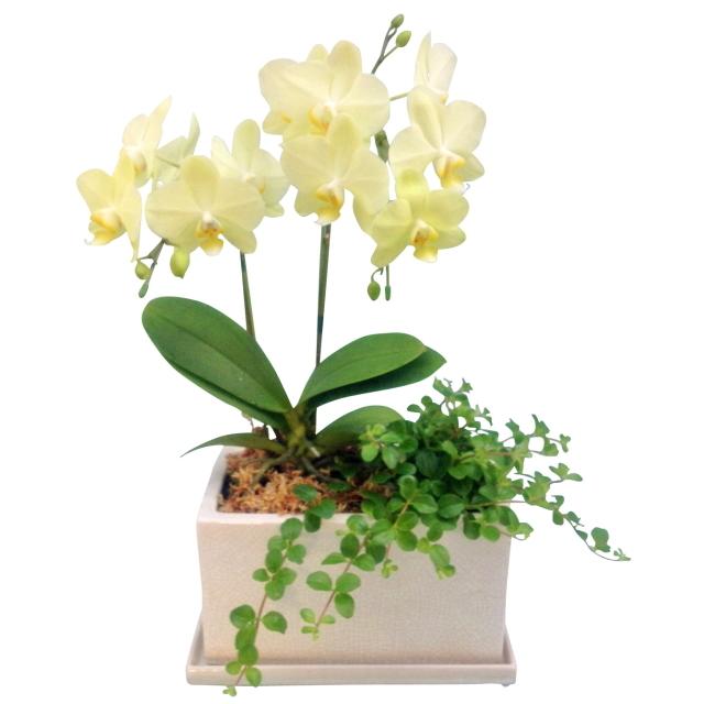 胡蝶蘭 2本立ち 黄色 イエロー系 パルテノ鉢 5.5号 観葉寄せ ミディ