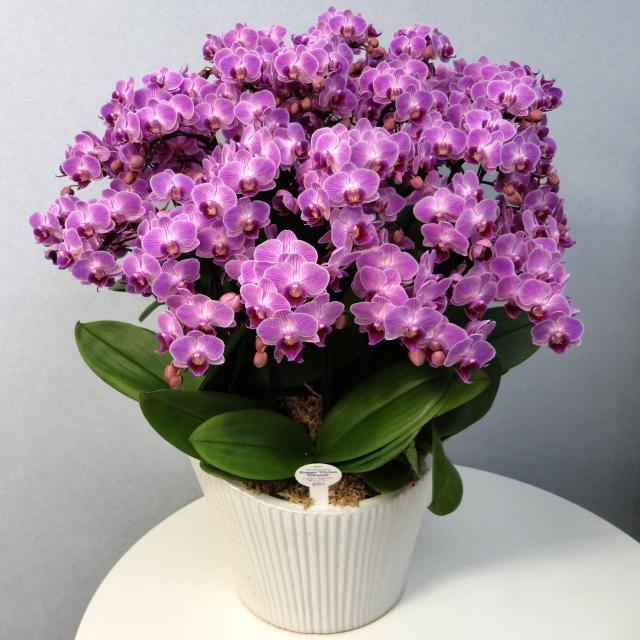 胡蝶蘭 15本立ち ピンク色 ミディ 蘭千世界 10号陶器鉢