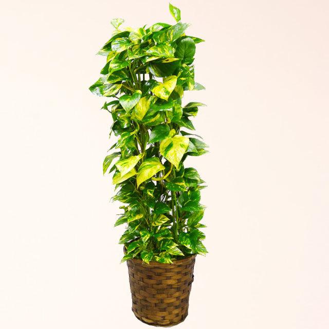 観葉植物 ポトス 8号鉢 バスケット付 送料無料