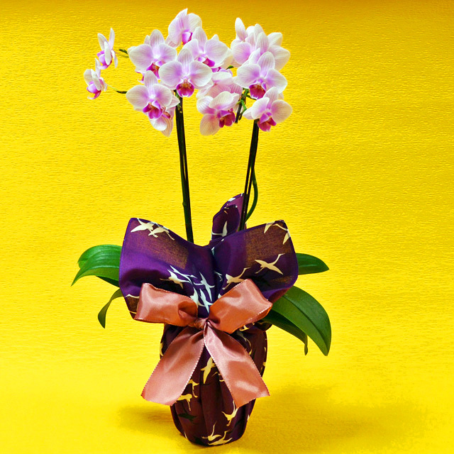 胡蝶蘭 2本立ち ピンク色 ミディ 風呂敷包み 群鶴 ぐんかく 古希 喜寿