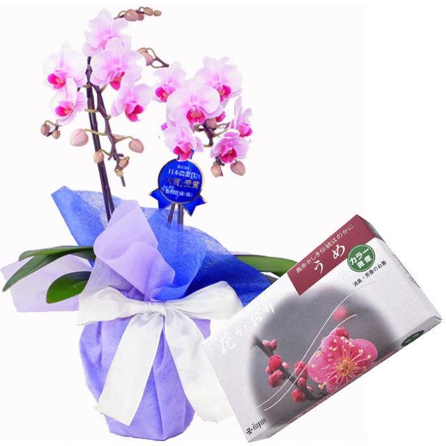 ミディ胡蝶蘭 ピンク色 2本立ち 薫寿堂のお線香 花かおり梅 微煙タイプ #636 セット