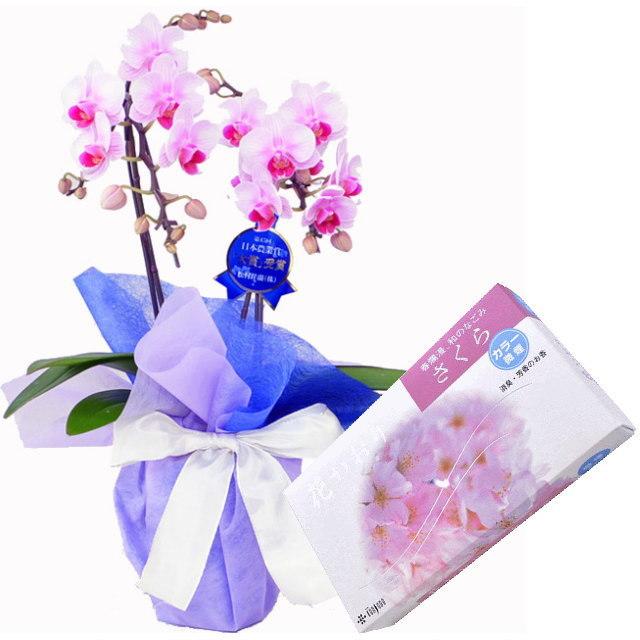 ミディ胡蝶蘭 ピンク色 2本立ち 薫寿堂のお線香 花かおり桜 微煙タイプ #638 セット
