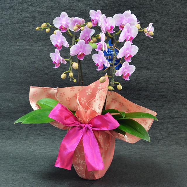 お祝い 開店祝い 鉢花 ミディ胡蝶蘭 2本立ち ピンク色 風呂敷包み 桜