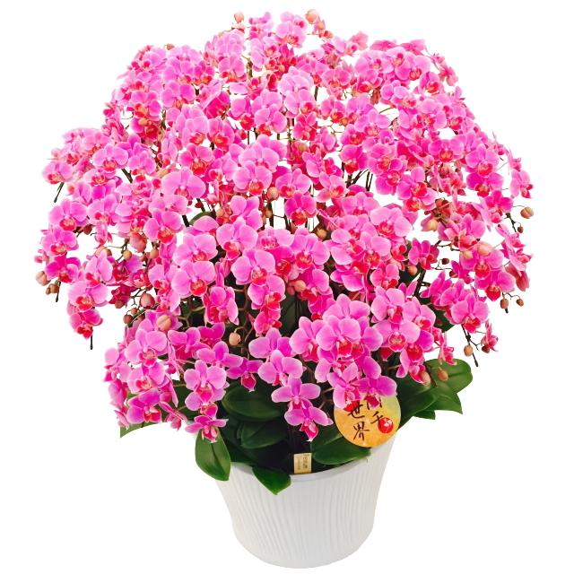胡蝶蘭 20本立ち ピンク色 ミディ 蘭千世界 13号陶器鉢