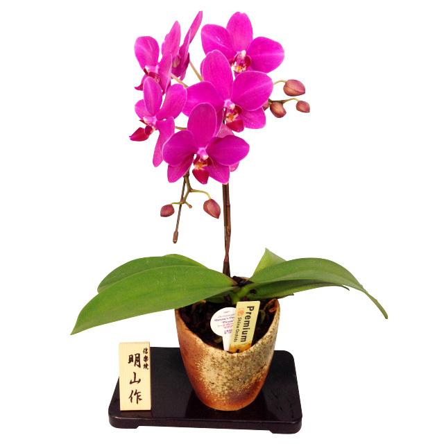 胡蝶蘭 1本立ち濃 ピンク系 信楽焼鉢