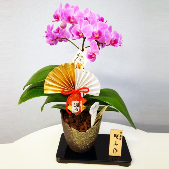 胡蝶蘭 迎春仕立て 1本立ち ピンク系 信楽焼鉢