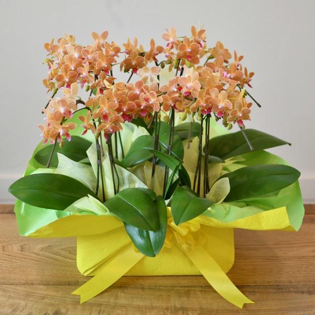 とりわけ胡蝶蘭 8本立ち 黄色オレンジ色系 ミディ 2本立ち4鉢入り