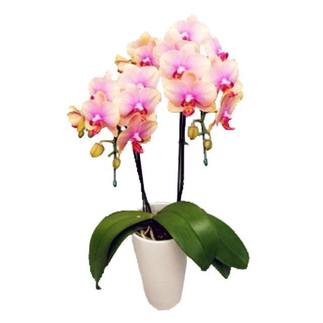 ミディ胡蝶蘭 サンクスポット トロピックジュエリー 2本立ち Thanks Pot 上品なピンク色