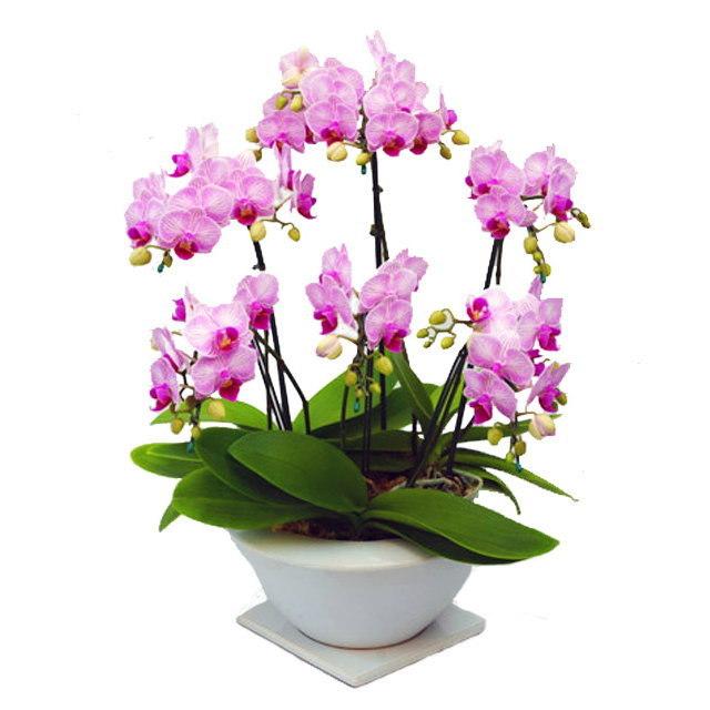 ミディ胡蝶蘭 白平鉢 ヴィーナスポット リトルビビアン 5~6本立ち 美しいストライプのピンク色