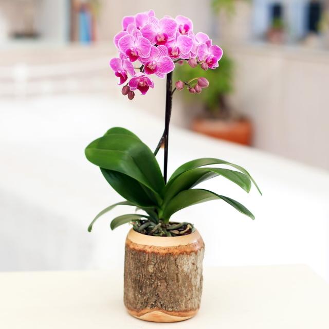 胡蝶蘭 1本立ち ピンク色 ウッド鉢 ミディ