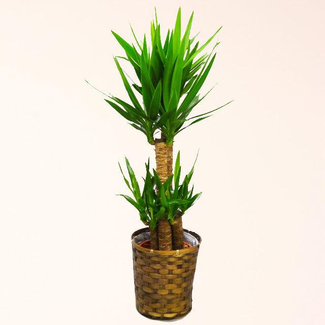 観葉植物 青年の木 ユッカ 8号鉢 バスケット付 送料無料