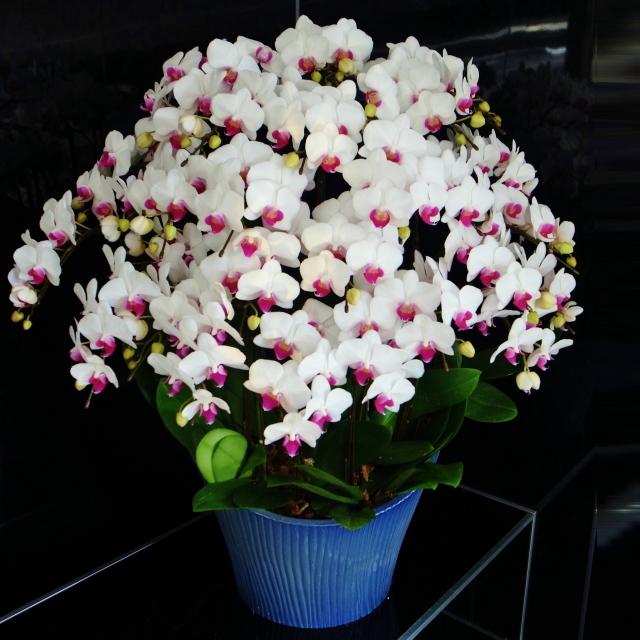 胡蝶蘭 15本立ち ユミ 赤リップ ミディ 蘭千世界 10号陶器鉢