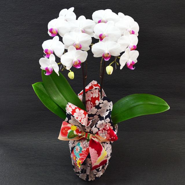 特選ミディ胡蝶蘭 2本立ち 赤リップ ユミ 高級風呂敷包み しだれ桜の両面風呂敷 リバーシブル