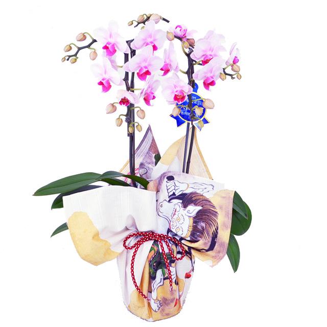 風呂敷 包み 胡蝶蘭 ピンク 誕生日 お祝い 開店祝い