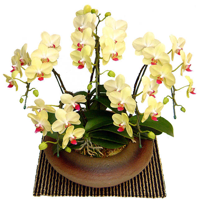 ミディ胡蝶蘭 小和鉢まどか 5本立ち ザルツマン 黄色