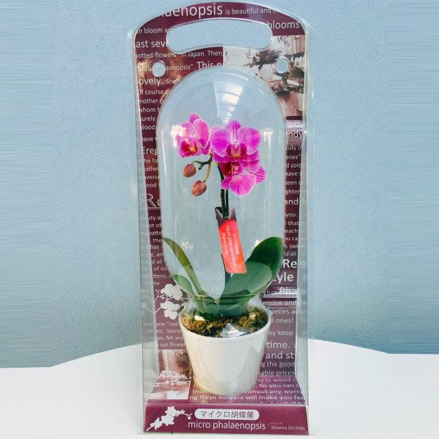 マイクロ胡蝶蘭 1本立ち ピンク系 カプセルパッケージ入り